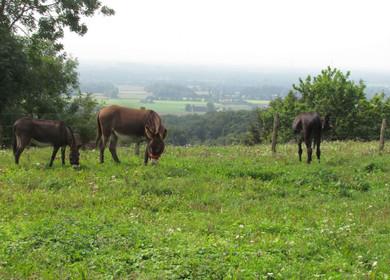 Drei Esel auf der Wiese am Lengericher Canyon