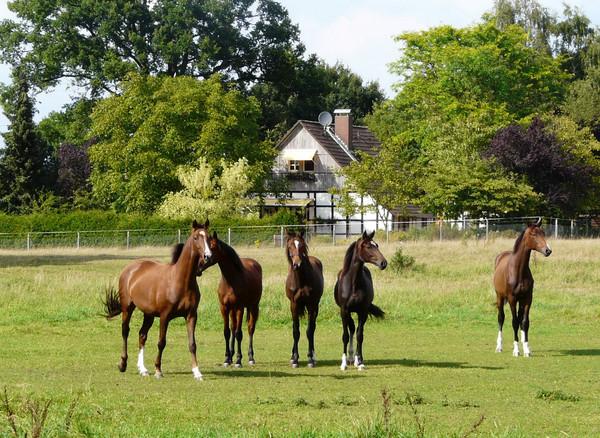 Fünf edle Pferde auf der Koppel