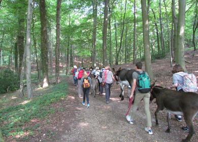 Ein Gruppe wandert mit Eseln im Teutoburger Wald