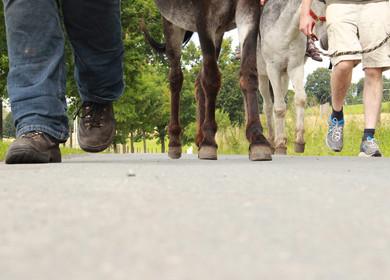 Wandern mit tierischem Begleiter. Due Hufen trappeln auf Asphalt